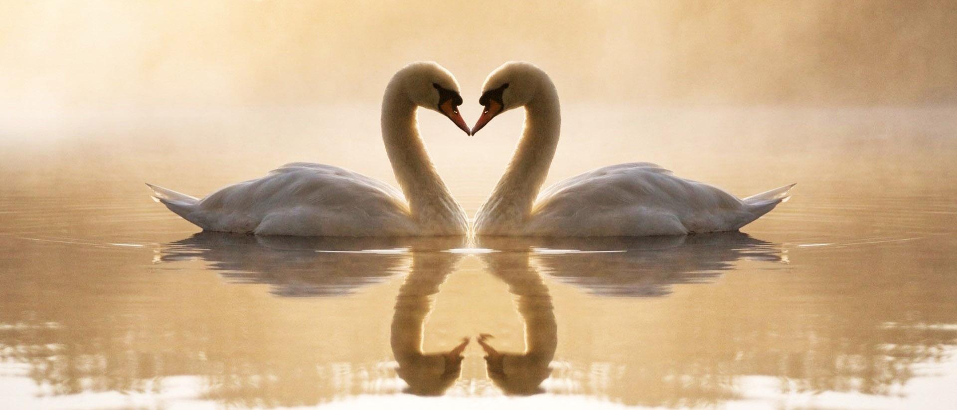 Love of swan